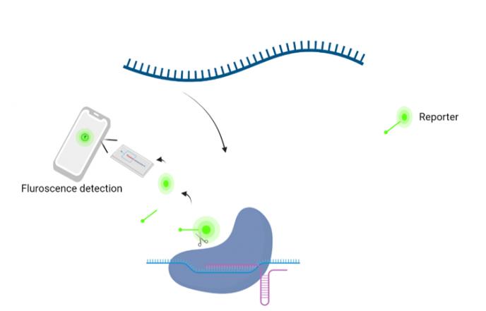 CRISPR Fig 4 CRISPR Cas pavisning mobil