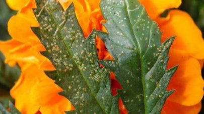 Minerflue liriomyza Foto Liv Knudtzon