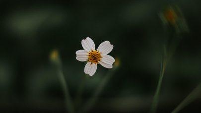 Liten hvit blomst pexels alan cabello 3780058