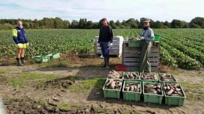 Høsting av rødbeter. Foto: Hilde Olsen.
