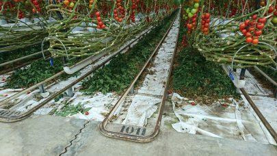 Tomatproduksjon Tyskland Neurather Gartneri Foto Magne Berland